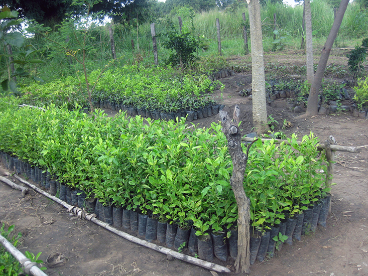 Nursery Plants We Raise And Distribute Thousands Of Seedlings To Provide Communities With The Fruit Fuel Shade Need Thrive